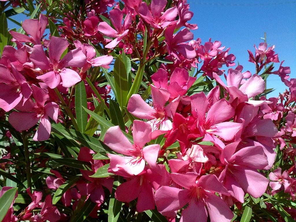 Oleander HQ Flickr.com Hadley Paul Garland (CC BY-SA 2.0)