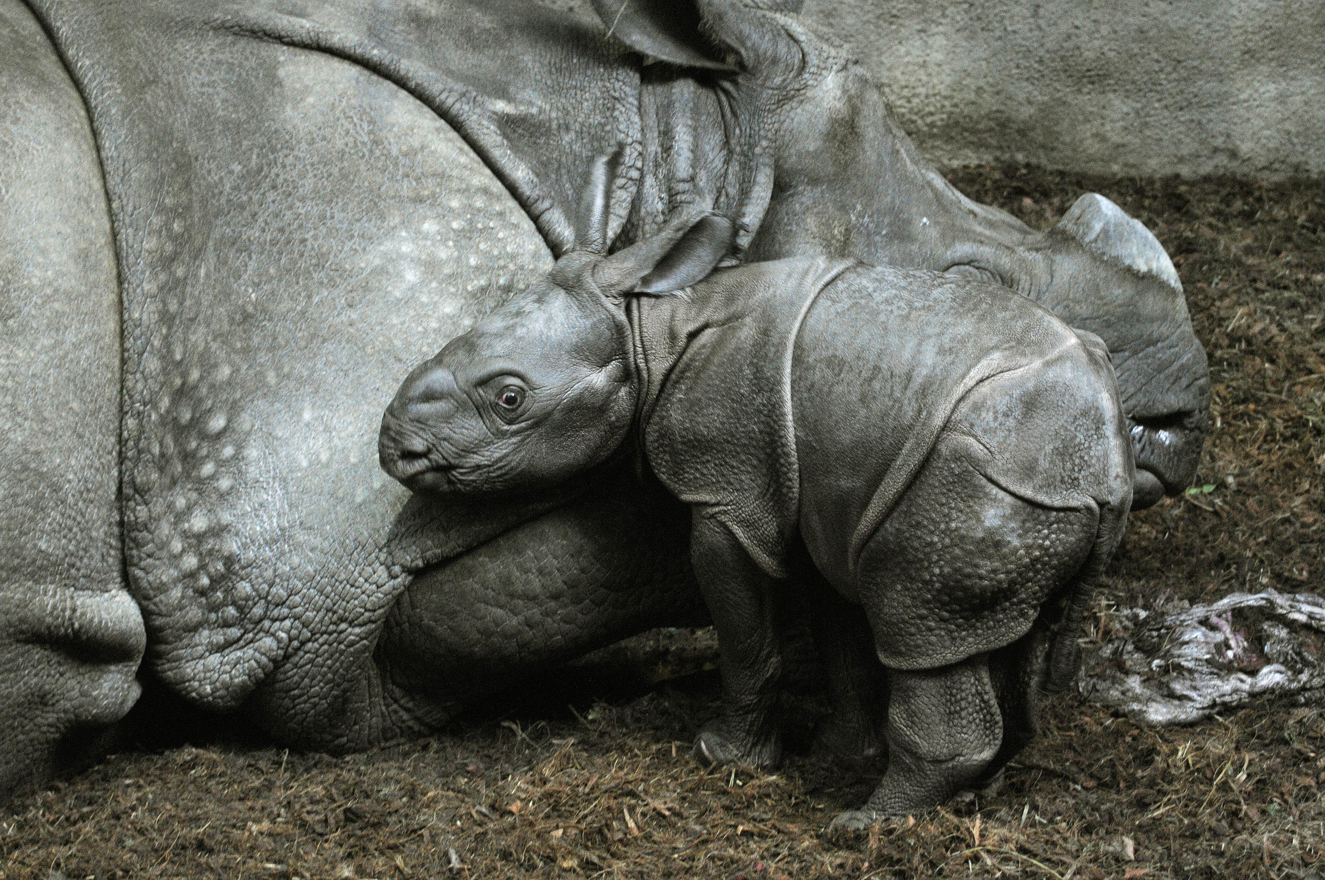 Neushoorn Geboren In Blijdorp Kraamvisite Al Mogelijk