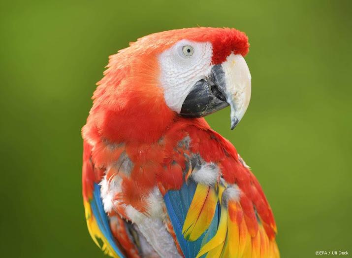 Steenbergen - Automobilist vlucht na ongeval en laat papegaai achter.