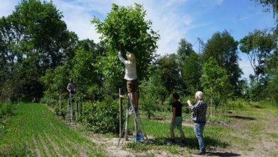 Vrijwilligers plukken walnoten op het Utopia Eiland