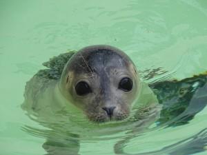 seal-751684_640