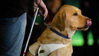 AMSTELVEEN - Een geleidehond tijdens de Light Night van KNGF Geleidehonden. Met een wereldrecordpoging van een race met waterlichtjes wil KNGF Geleidehonden de schijnwerpers op de geleidehond zetten. ANP BART MAAT