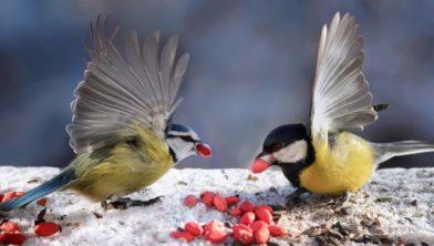 Vogels Nederland Tuin : Top meest voorkomende tuinvogels in nederland alletop lijstjes