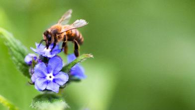 Honingbij op Ereprijs