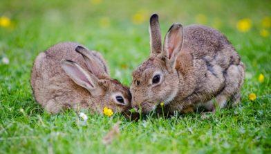 Wilde konijnen.