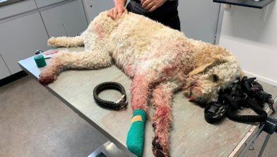 De gewonde hond.