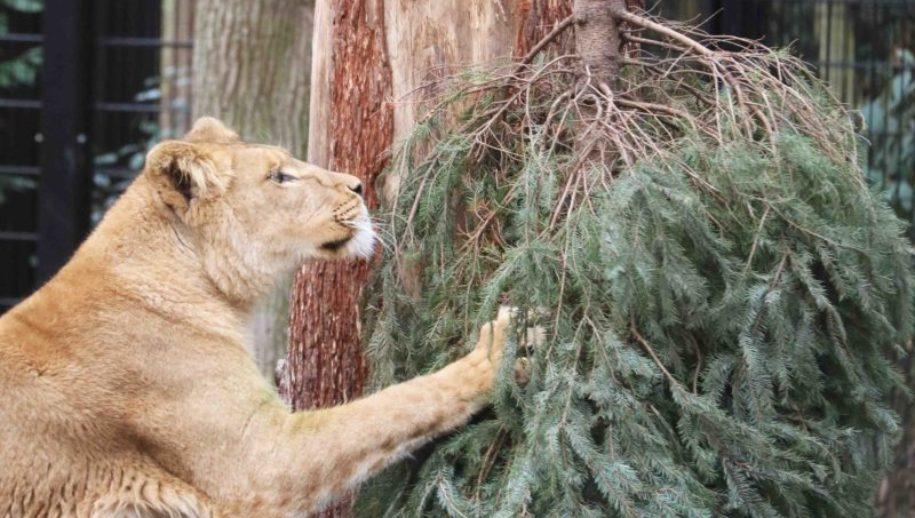 Kerstbomen voor de dieren in Dierenpark Amersfoort