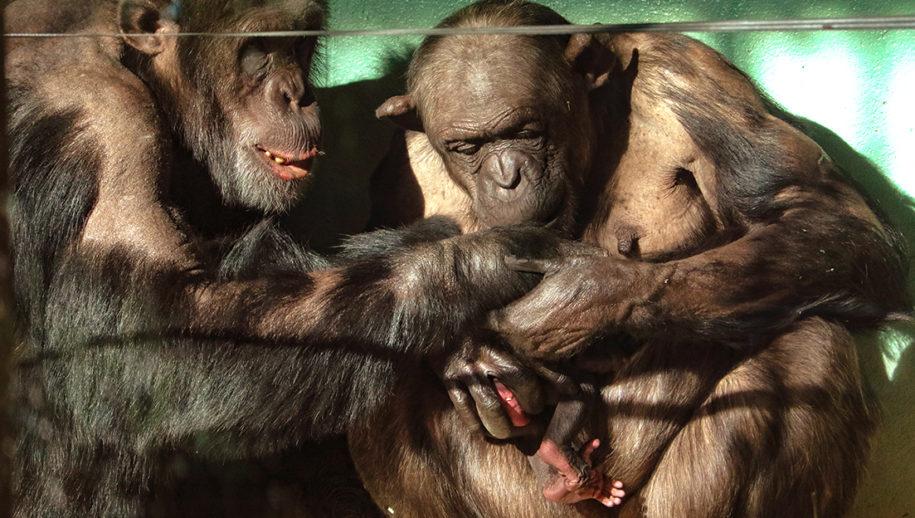 Twee chimpansees buigen zich over jong