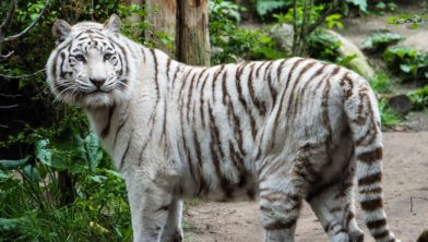 Witte tijger DierenPark Amersfoort overleden