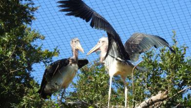Maraboekuikens spreiden vleugels