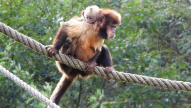 Kapucijnaapje spiekt mee vanaf de rug van moeder