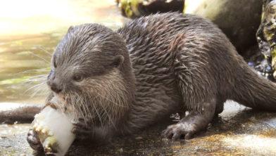 Otter geniet van waterijs
