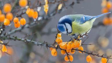 Vogels Nederland Tuin : Vogelbescherming nederland de eikenprocessierups is in opmars