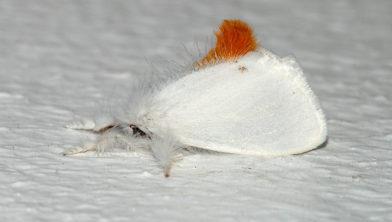 De bastaardsatijnvlinder; géén eikenprocessierups