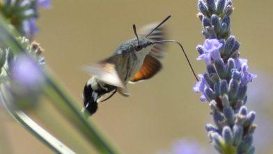 De kolibrievlinder is een nachtvlinder