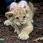 leeuwenwelpen