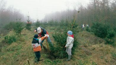 Kerstboom zagen in het Kuinderbos