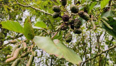 Elzenproppen in het Voorsterbos.