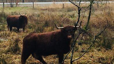 Schotse Hooglanders bij Kraggenburg