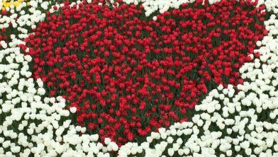 Hart van tulpen