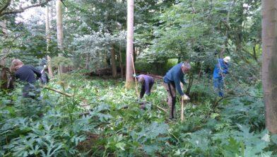Bestrijding reuzenberenklauw door vrijwilligers.