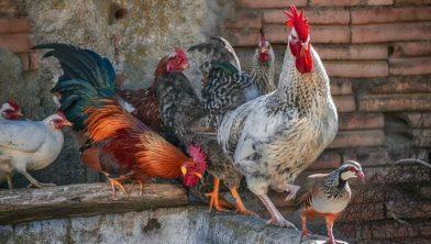 Kippen mogen nog los rondlopen