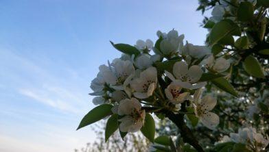Bloesem van de perenboom