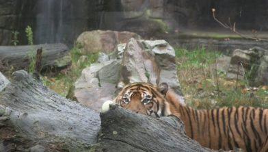 De tijger van dichtbij te bewonderen