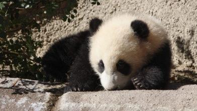 Een baby panda