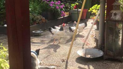 De kippen van Jackie