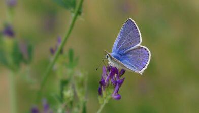 Welke soort vlinder is dit blauwtje?
