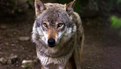 Foto ter illustratie, niet de omgekomen wolf