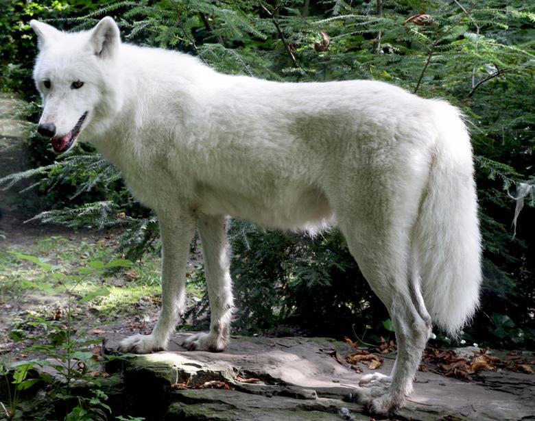 Witte wolf