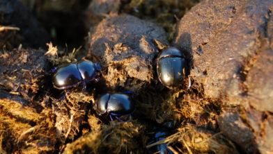 Mestkevers op paardenpoep
