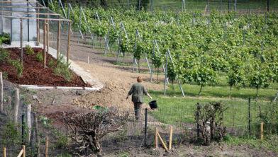 Wijnbouw, ook als hobby, zoals op de schootsvelden in Sittard