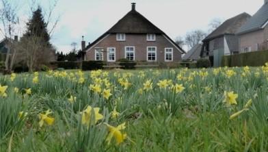 Grote groeiplaats van de Wilde Narcis in een tuin in Rouveen