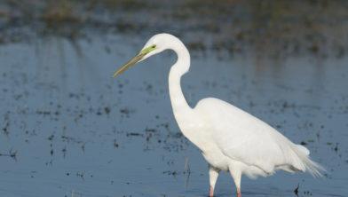jagende grote zilverreiger; hunting great egret