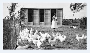 kippen voeren