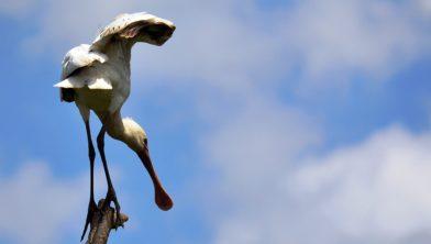 De lepelaar is één van de vogels die in De Blauwe Kamer leeft