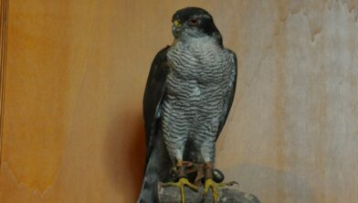 Archieffoto van een roofvogel