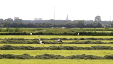 Ooievaars onder de rook van Groningen