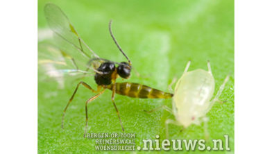 B2RRY4 Parasitic wasp Aphidius colemani stinging green peach aphid
