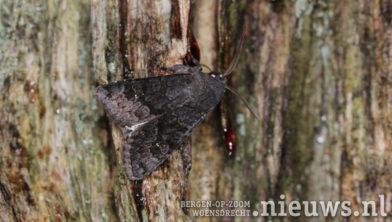 Heidewitvleugeluil - Aporophyla lueneburgensis