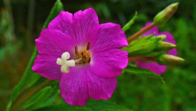 Onder andere het harig wilgenroosje (Epilobium hirsutum) dreigt te verdwijnen.