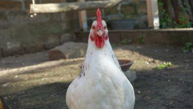 Niet de ontsnapte kip: die had zich bij het maken van het bericht verscholen.