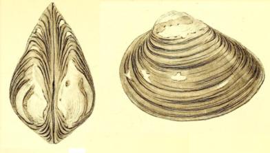 De Brakwaterstrandschelp (Rangia cuneata).
