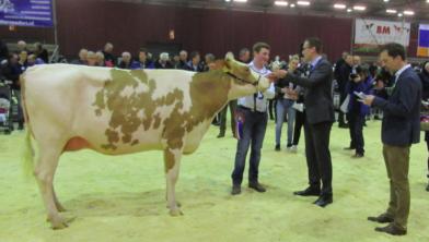 Koeienkeuring in Zwolle. Wie heeft de mooiste koe?
