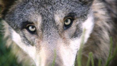 Op de Veluwe loopt men de kans oog in oog te komen staan met de wolf