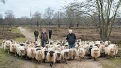 schapen onderweg met Nanning Mol