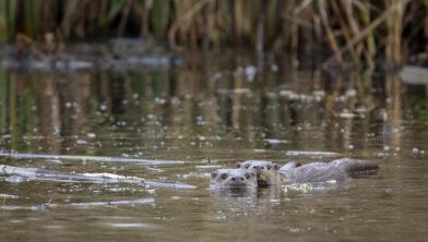 Otter in Naardermeer